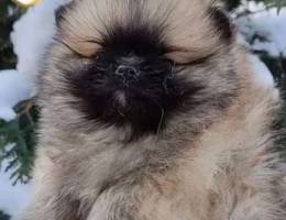 imported brown Pomeranian available in Leb...
