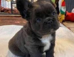 Imported french bulldog
