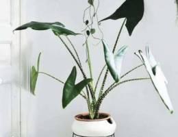 alocasia zebrina elephant ear plant