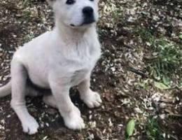 3 months swiss shepherd puppy for sale