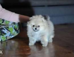 Pomeranian all colours
