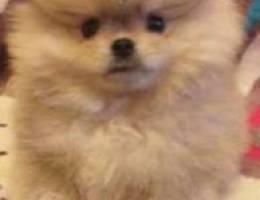 Teddy bear Pomeranian teacup