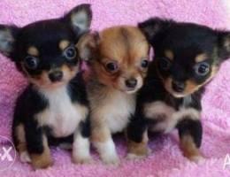Chihuahua Chocolate Mini Imported !!