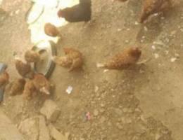 دجاج زراعي